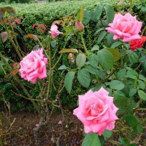 綺麗なピンクの薔薇