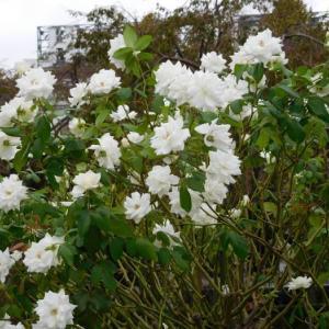 沢山咲いている白い花と珍しい花