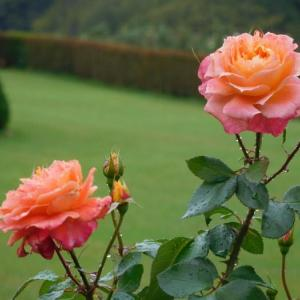 雨の中に咲く薔薇