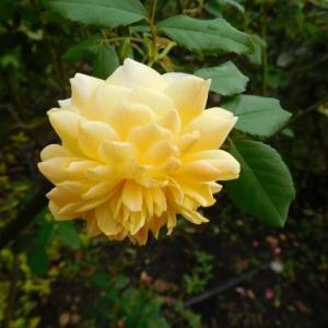 黄色い薔薇と白い薔薇