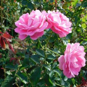 ピンクの薔薇と黄色い薔薇