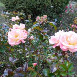 ちょっと前に撮った薔薇