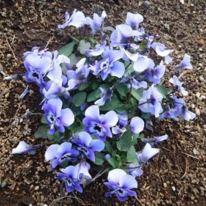 青くて可愛い花