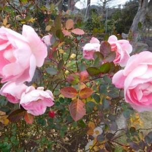 ピンクの薔薇です