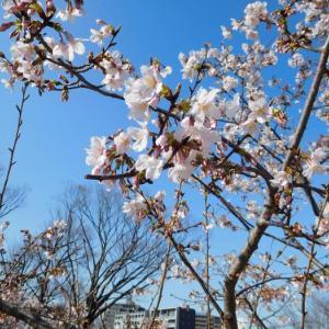 早咲きの玉縄桜