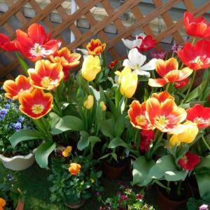 温室に咲いていたチューリップ