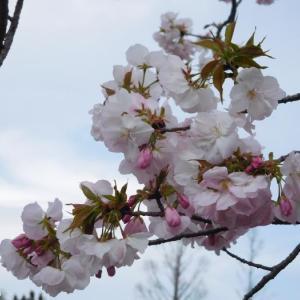 撮って来たばかりの桜です