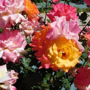綺麗な配色の薔薇