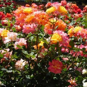 これまたカラフルな薔薇
