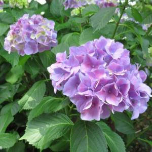 アップで撮ってみた紫陽花