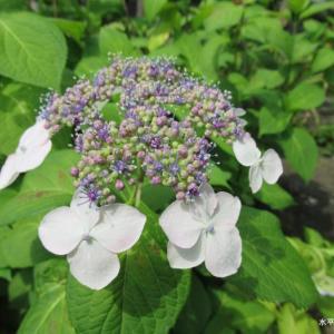 変わった色の額紫陽花