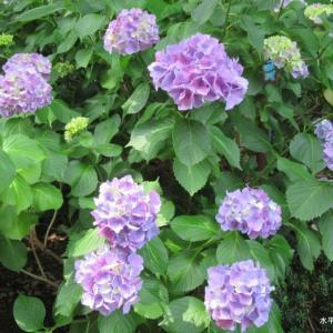 紫の紫陽花達