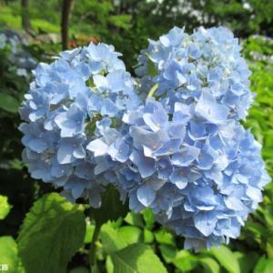 綺麗な臼青い紫陽花