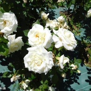 白い薔薇再び