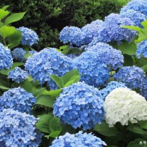 お気に入りの青い紫陽花