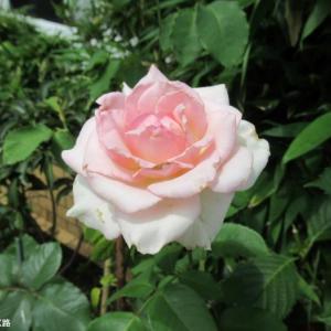 額紫陽花とピンクの薔薇