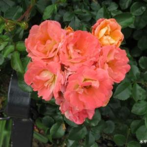 山下公園で撮って来た花