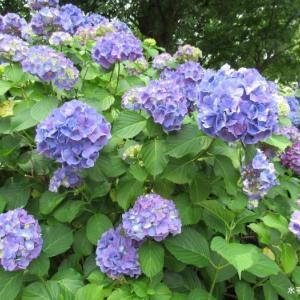 折角撮って来たので紫陽花です