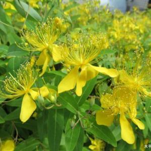 綺麗な黄色い花と紫陽花