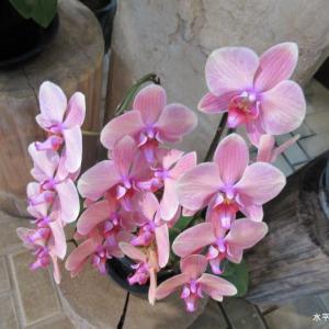 綺麗なピンクの蘭
