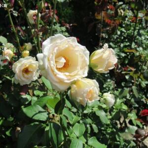 淡い色の薔薇