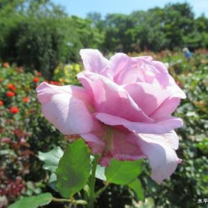 空に向かって咲くピンクの薔薇