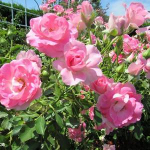今度は群生してるピンクの薔薇