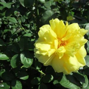 黄色い薔薇のアップと薄ピンクの薔薇