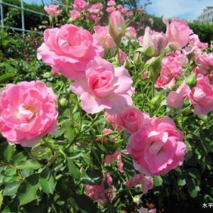 群生してるピンクの薔薇と薄ピンクの薔薇