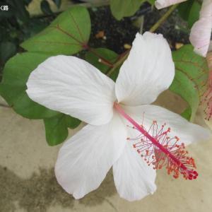 白いハイビスカスとピンクの花