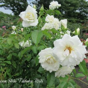 遠近の白い薔薇