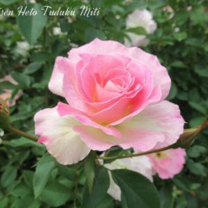 またしてもピンクの薔薇です