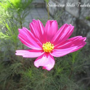 秋桜と紫の花