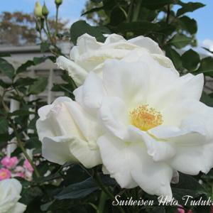 白い秋薔薇