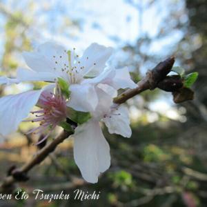大船フラワーセンターに咲いていた桜