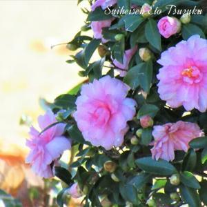 ピンクの寒椿