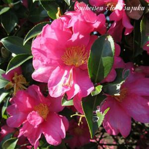 綺麗に咲いた寒椿