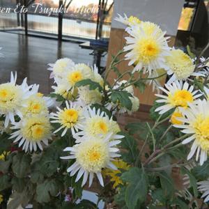 近所に咲いていた菊です