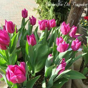 ピンクのチューリップと綺麗な花時計