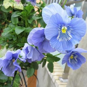 青と紫のビオラです