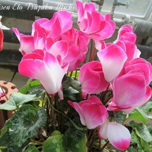 ピンクと珍しい色のシクラメン
