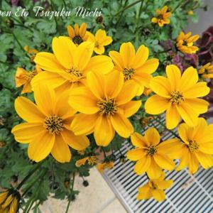 綺麗に咲いた黄花コスモス