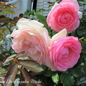 散歩中に見掛けたピンクの薔薇