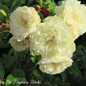 散歩中に見掛けた雨上がりの薔薇