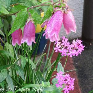 散歩中に撮ったホタルブクロ(蛍袋)と言う花