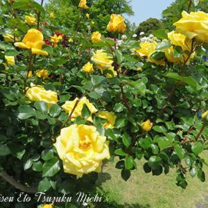 綺麗に咲いていた黄色い薔薇