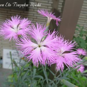 Dianthus longicalyx (ナデシコ属)と言う花