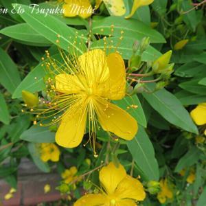 ビヨウヤナギ(未央柳)と言う黄色い花
