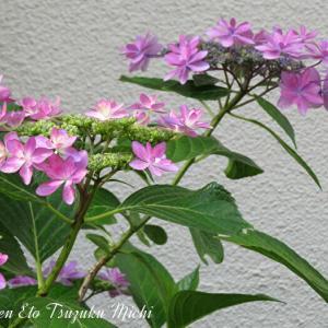 散歩中に撮った綺麗に咲いた額紫陽花
