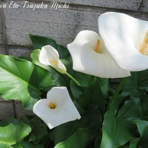 先日撮って来たオランダカイウ(和蘭海芋)と言う花